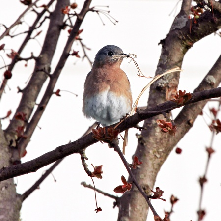 Photo of a bluebird sitting in a tree, holding nesting material in her beak