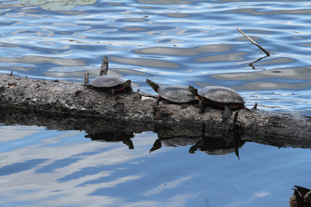 Turtles sunning themselves on a log