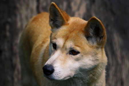 The dingo or Canis Lupus is a free-ranging dog found mainly in Australia, as well as Southeast Asia photo