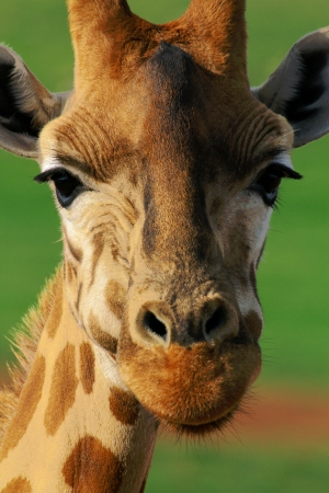 The giraffe is an African even-toed ungulate mammal, the tallest living terrestrial animal and the largest ruminant  photo