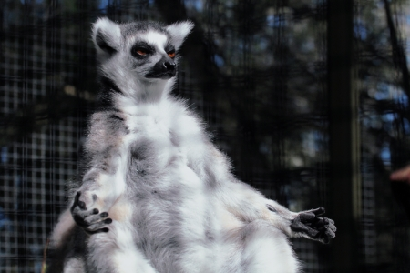 Ring-tailed lemurs are primates found only on the African island of Madagascar photo