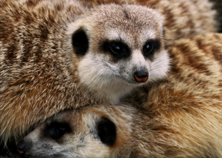 This animal have a cute face and love to dig to find the food    They are very social, living in colonies averaging 20–30 members  Meerkats live in all parts of the Kalahari Desert South Africa Stock Photo - 24808192