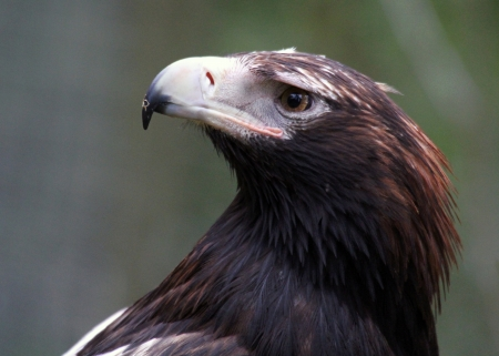 wedgetailed: The Wedge-tailed Eagle, sometimes known as the Eaglehawk in its native range, is the largest bird of prey in Australia  Stock Photo