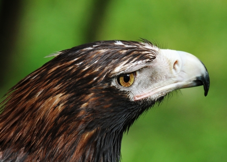 The Wedge-tailed Eagle, sometimes known as the Eaglehawk in its native range, is the largest bird of prey in Australia  photo