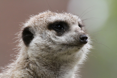 This animal have a cute face and love to dig to find the food    They are very social, living in colonies averaging 20–30 members  Meerkats live in all parts of the Kalahari Desert South Africa Stock Photo - 24808368