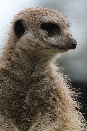 This animal have a cute face and love to dig to find the food    They are very social, living in colonies averaging 20–30 members  Meerkats live in all parts of the Kalahari Desert South Africa Stock Photo - 24808370