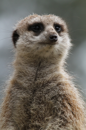 This animal have a cute face and love to dig to find the food    They are very social, living in colonies averaging 20–30 members  Meerkats live in all parts of the Kalahari Desert South Africa Stock Photo - 24808372
