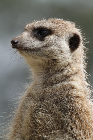 This animal have a cute face and love to dig to find the food    They are very social, living in colonies averaging 20–30 members  Meerkats live in all parts of the Kalahari Desert South Africa Stock Photo - 24808378