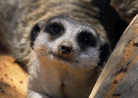 This animal have a cute face and love to dig to find the food    They are very social, living in colonies averaging 20 to 30 members  Meerkats live in all parts of the Kalahari Desert South Africa  Stock Photo - 25490035
