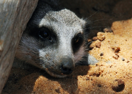 This animal have a cute face and love to dig to find the food    They are very social, living in colonies averaging 20 to 30 members  Meerkats live in all parts of the Kalahari Desert South Africa Stock Photo - 25490036