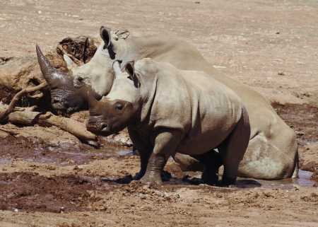 land mammal: The Southern White Rhino is the second largest land mammal  They are grazers, found on the grassy savannahs of Southern Africa