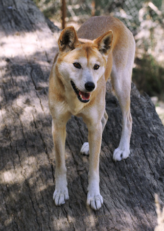 roaming: The dingo or Canis Lupus is a free-ranging dog found mainly in Australia, as well as Southeast Asia  Stock Photo