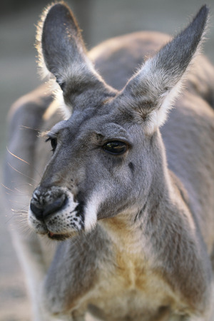 macropus rufus: The Red Kangaroo Macropus rufus is Australia s largest kangaroo Males are a reddish brown color and females more blue-grey