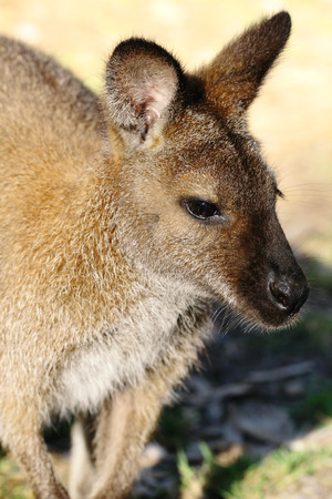 bennett: The Bennett wallaby is one of Tasmania�s most commonly seen native animals