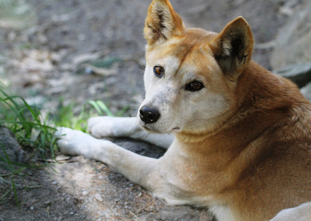 The dingo or Canis Lupus is a free-ranging dog found mainly in Australia, as well as Southeast Asia  Stock Photo