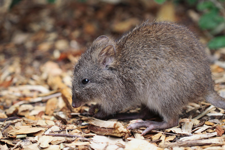 marsupial: Long-nosed Potoroo  Potorous tridactylus  looks like a large rat, but is a marsupial and hops like a kangaroo