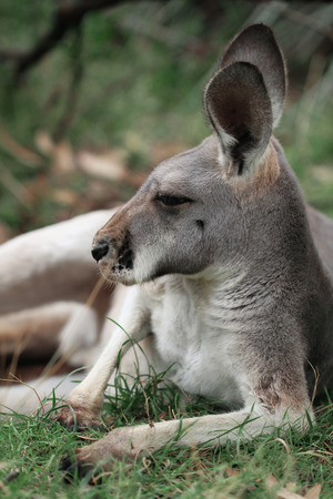 animal pouch: The Red Kangaroo Macropus rufus is Australia s largest kangaroo Males are a reddish brown color and females more blue-grey  Stock Photo