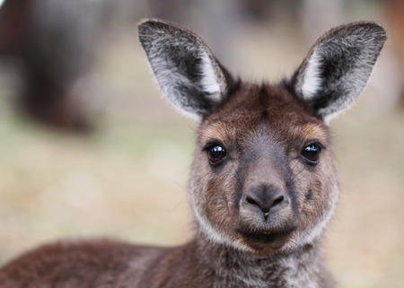 The western grey kangaroo (Macropus fuliginosus) is a large and very common kangaroo or macropod, found across almost the entire southern part of Australia