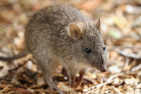 long nose: Long-nosed Potoroo (Potorous tridactylus) looks like a large rat, but is a marsupial and hops like a kangaroo.