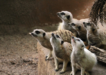 insectivores: This animal have a cute face and love to dig to find the food.   They are very social, living in colonies averaging 20 to 30 members  Meerkats live in all parts of the Kalahari Desert South Africa.