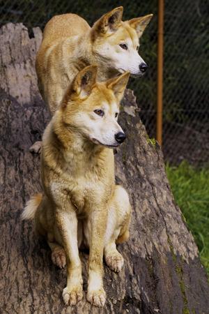 Dingo (Canis lupus dingo) photo