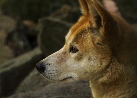 whimper: Dingo (Canis lupus dingo), Closeup