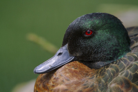 chestnut male: The Chestnut Teal is a small duck. The male has brown back, rich chestnut coloured chest and sides with dark tail and white patch on the rear. Stock Photo