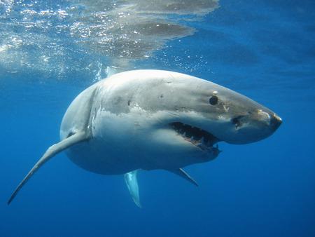 shark teeth: Great White Shark