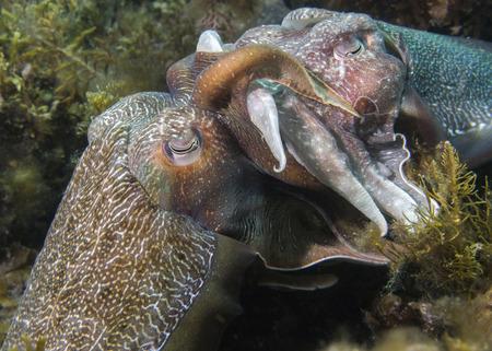 cuttlefish: Cuttlefish Mating