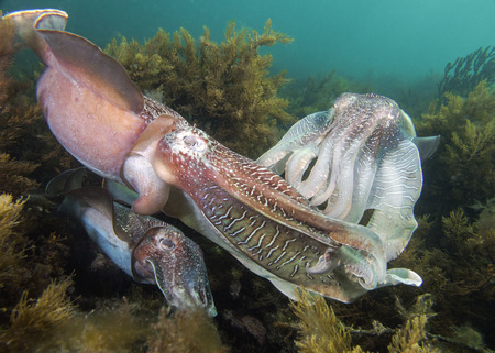 mating: Cuttlefish Mating