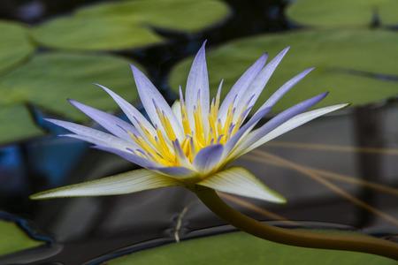 jardines con flores: Nymphaea caerulea, conocido principalmente como loto azul o loto azul egipcio, pero tambi�n azul lirio de agua o azul lirio de agua egipcia