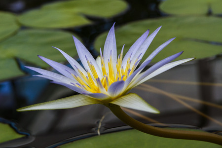 egyptian lily: Nymphaea caerulea, known primarily as blue lotus or blue Egyptian lotus, but also blue water lily or blue Egyptian water lily