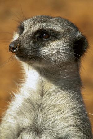 insectivores: Meerkat