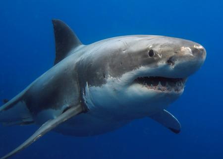 偉大な白いサメ 写真素材 - 79914694