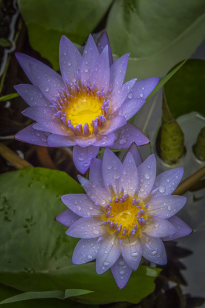 Beautiful water lilies color picture taken after the rain stop Stock Photo