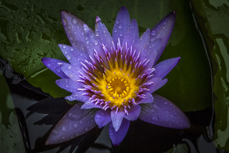 Beautiful water lily color picture taken after the rain stop