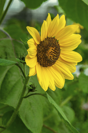 Sunflower close-up picture
