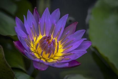 Beautiful Purple Water Lily Close-up