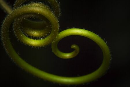 Macro shot red passion plant climbing parts tendril, red passion tendril Banco de Imagens