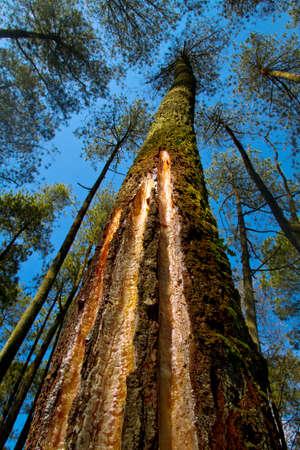 Looking upwards to the pine trees for harvesting merks pine (Pinus merkusii) sap for turpentine industries Фото со стока