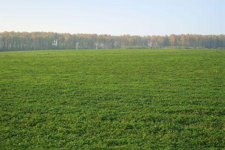 margen: Un tr�bol verde sobre el terreno en los m�rgenes del bosque, en la ma�ana. Es evidente.