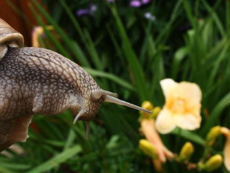 abomination: Big horned snail with cockleshell  on a garden background