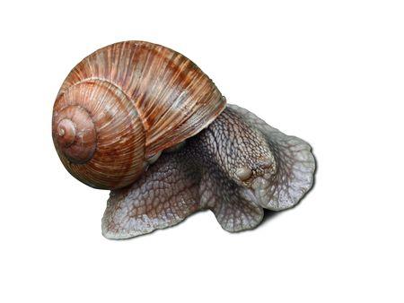 encogimiento: Gran caracol asustado con cockleshell aislado en un fondo blanco Foto de archivo