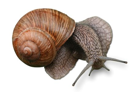 abomination: Big snail with cockleshell  isolated  on a white background