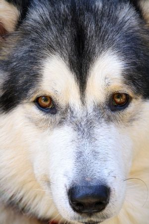 blue eye husky: close up malamute snout with brown eyes