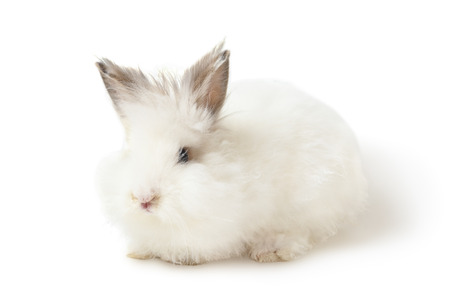 inconspicuous: Small white fluffy rabbit sit over white