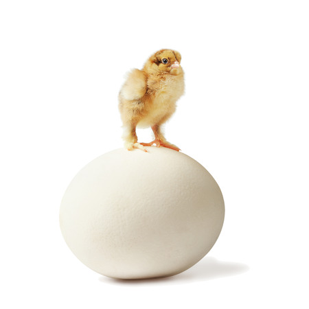 ostrich chick: Three little pedigreed yellow-brown chick with shaggy paws stands on big ostrich egg over white background  Stock Photo