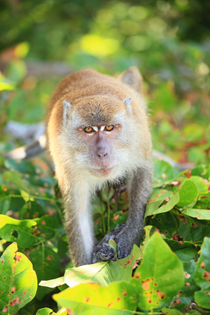 assail: angry monkey going to attack, looking to the camera among green leaves. DOF is small.