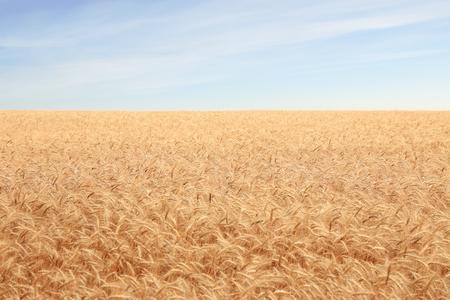 to till: big field covered of cereals till skyline