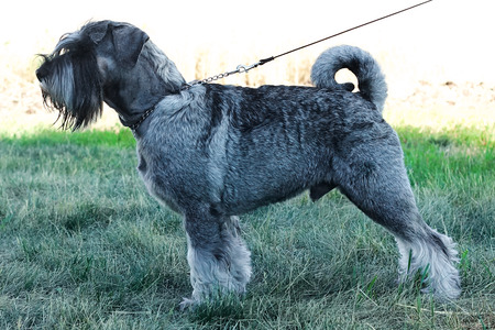 schutz: standard schnauzer in front of white background summer